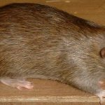 Agouti doe bred by Hawthorn, owned by Rattenfanger, copyright Rattenfanger