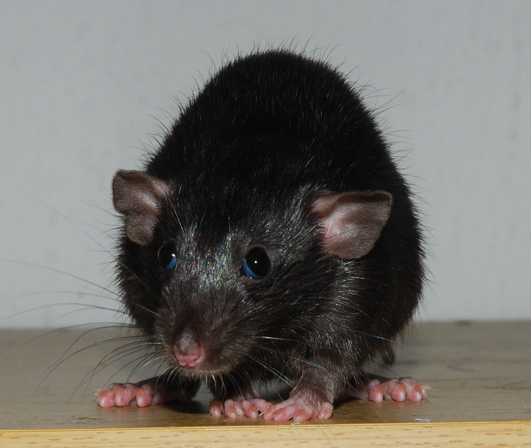 Massachusetts General Has Rat Growing Human Ears That ... |Rat Pinna
