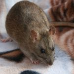 Agouti, photo copyright Halcyon