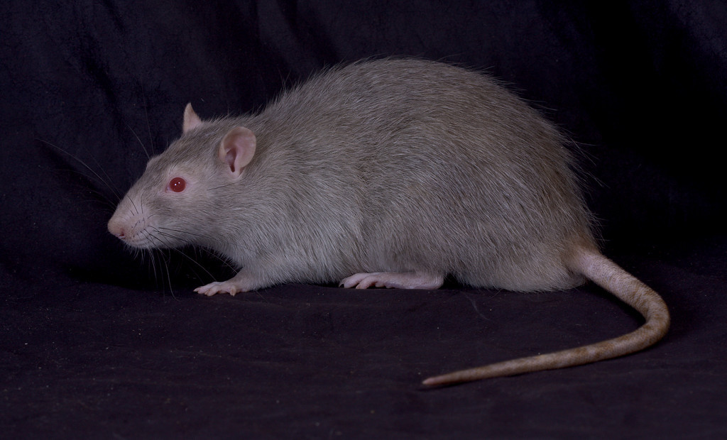 high school and pet rat cinnamon